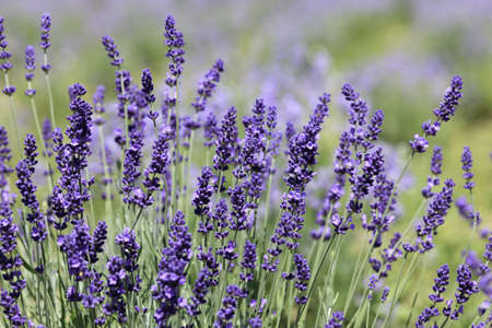 Lavender flowers blooming in a field during summer Stock Photo - 9969916