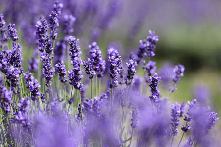 Lavender flowers blooming in a field during summer Stock Photo - 10292821