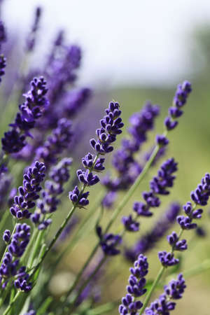 lavender bushes: Lavender flowers blooming in a field during summer