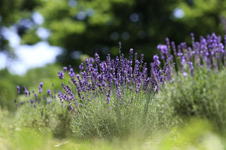 Lavender flowers blooming in a field during summer Stock Photo - 10292822