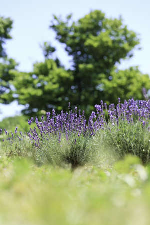 Lavender flowers blooming in a field during summer Stock Photo - 10292808