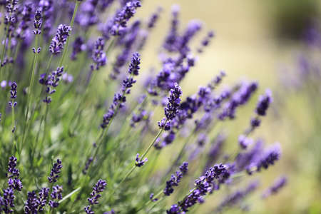 Lavender flowers blooming in a field during summer Stock Photo - 10292814