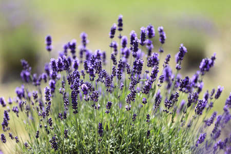 Lavender flowers blooming in a field during summer Stock Photo - 10292819