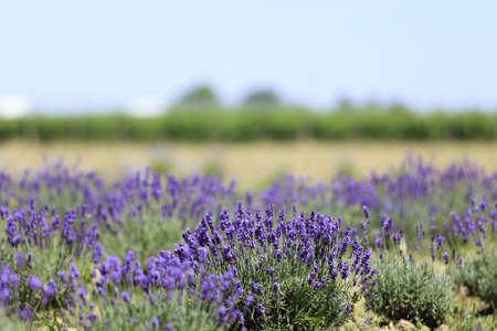 Lavender flowers blooming in a field during summer Stock Photo - 10292802