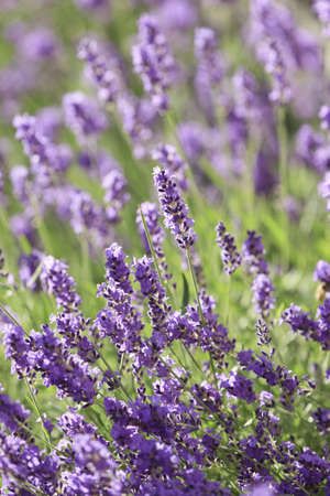 Lavender flowers blooming in a field during summer Stock Photo - 10292818