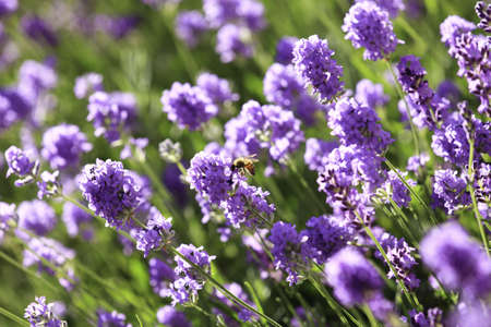 Honey bee landing on a Lavender flower