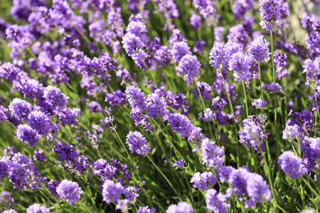 Lavender flowers blooming in a field during summer Stock Photo - 10292823