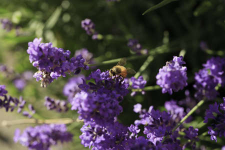 Close-up of a Honey bee landing on a Lavender flower Stock Photo