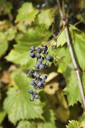 Wild Berries Stock Photo - 11499679