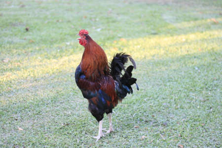 The rooster and the hen are the domestic subspecies of the species, a species of bird of the , family from Southeast Asia. Common names are: rooster.