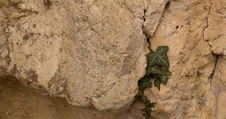 creeping: l'edera selvatici strisciante nella roccia
