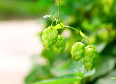 bourgeon: green climbing plant hops, selective focus. Ingredient for making yeast and beer