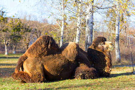 one humped: great Bactrian camel on the background of birch in autumn park