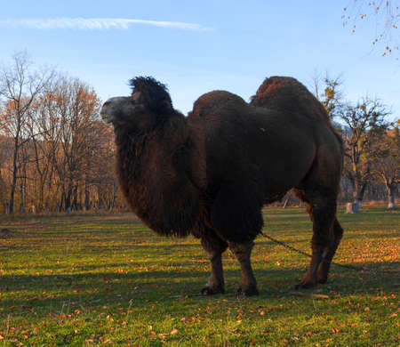 one humped: Great Bactrian camel walking on a leash in the park autumn evening Stock Photo
