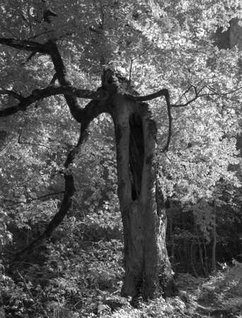whimsical: Whimsical old tree with a hollow in a summer forest on a Sunny day, selective focus.. black and white photo