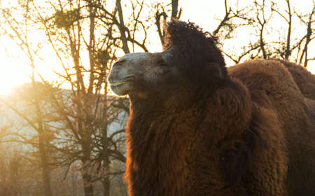 one humped: Portrait of a big two-humped camel in profile at sunset in autumn park