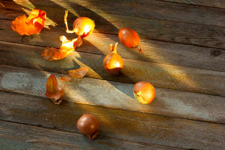 goldish: Goldish onions scattered on old rustic table illuminated by the solar rays. Copy space. Top view. Rustic style