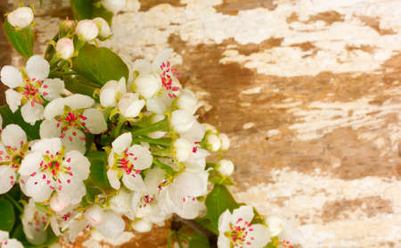 pear tree: Flowering branch of pear tree on the background of old worn boards. Selective focus. Free space for text. Copy space