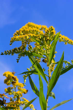 goldenrod: canadian goldenrod with bees collecting pollen on a blue sky background, selective focus Stock Photo