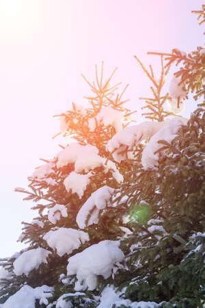 the rising sun: Árboles de pino en la nieve iluminadas por los rayos del sol naciente. foto entonada