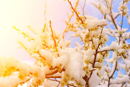 goldish: flowering plum tree branches covered with snow in the golden rays of the setting sun. Selective focus, shallow depth of field. soft focus Stock Photo