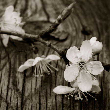 bloomy: blooming branch of plum tree against the background of an old cracked wooden board. Selective focus. square photo. black white toning