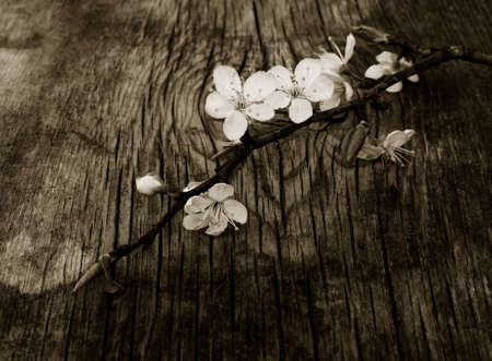 blooming branch of plum tree against the background of an old cracked wooden board. Selective focus. black white toning Stock Photo - 54300635