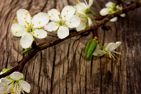 thriving: blooming branch of plum tree against the background of an old cracked wooden board. Selective focus
