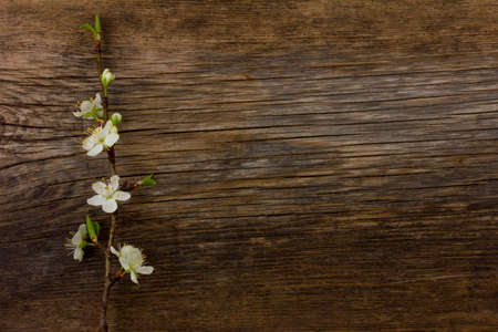 blooming branch of plum tree against the background of an old cracked wooden board. Selective focus. Free space for text. Copy space