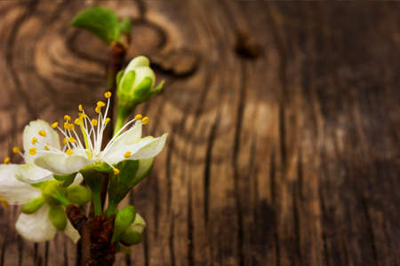 thriving: blooming branch of plum tree against the background of an old cracked wooden board. Selective focus, shallow depth of field. Free space for text. Copy space