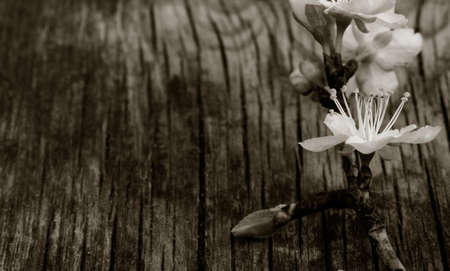nature photo: blooming branch of plum tree against the background of an old cracked wooden board. Selective focus. Free space for text. Copy space. black white toning