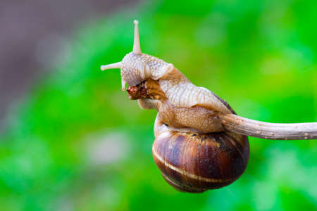 feelers: snail hanging on a thin branch and eating it on the green natural blurry background. close-up, selective focus