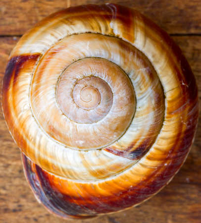 grape snail: old shell spiral snail. a symbol of the golden section