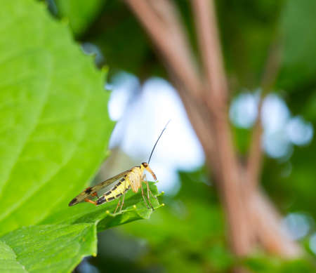 proboscis: winged insect with a long proboscis scorpion fly on green leaf. selective focus