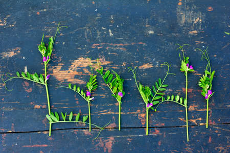 sprigs: green flowering sprigs of wild peas with small purple flowers on an old black wooden board with crack. Flat lay, top view Stock Photo