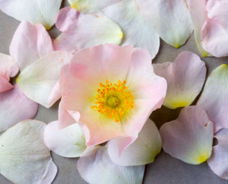 wild rose: pink wild rose flower against the fallen petals. Flat lay, top view