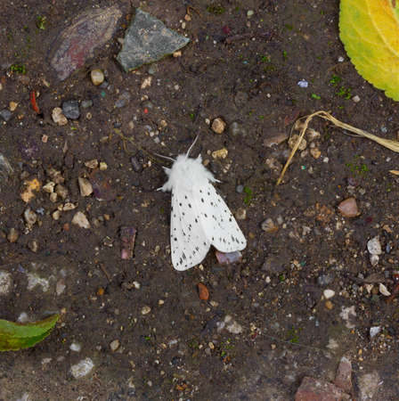 quarantine: the insect pest American white butterfly (Hyphantria cunea). quarantine pest of fruit crops