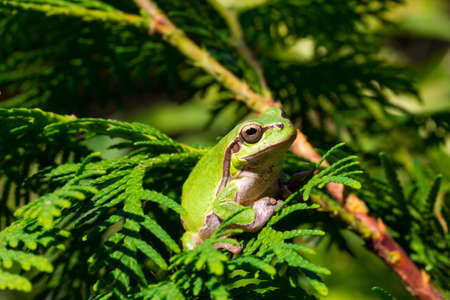 green tree frog: green tree frog is sitting in the branches of a tree Thuja