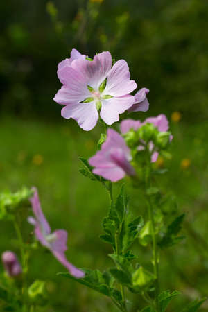 ornamental plant: gentle pink flower (lavatera Thuringian). Medicinal, melliferous and ornamental plant