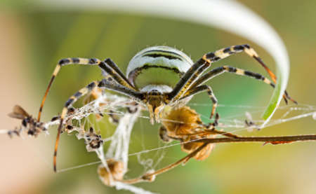 bruennichi: female spider Argiope Bruennichi in their natural habitat, front view close-up. selective focus