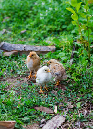 brood: three small chicken farm. shallow depth of field Stock Photo