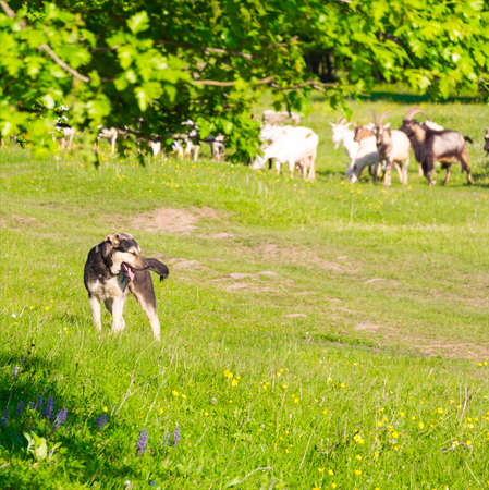watchdog: a watchdog guards a herd of goats to pasture, selective focus
