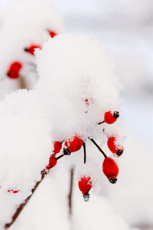 heaviness: branches with red berries of wild rose in the snow closeup. tinted photo Stock Photo
