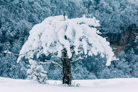 Wild apple tree covered with snow on a mountain slope in the background of the winter forest closeup. Toning photo