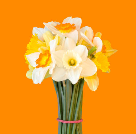 a bouquet of daffodils isolated on orange background