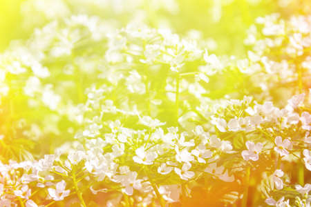 Spring sunny background with small white wild flowers in bright sunlight