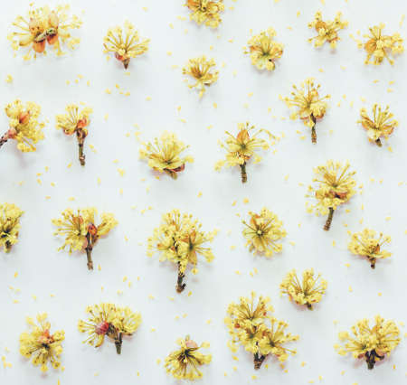 Floral pattern with yellow dogwood flowers on a white background. Flat lay, top view. Tinted photo