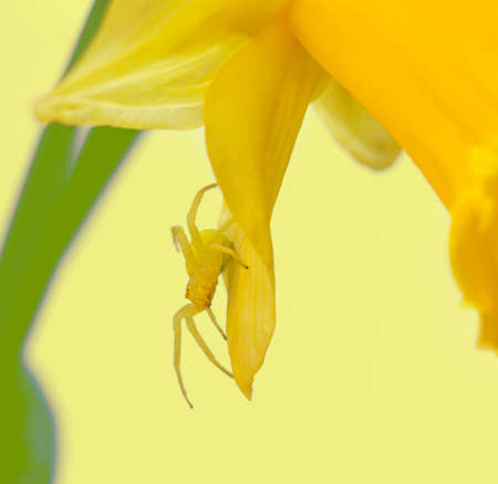 macro photo of a small yellow spider in the petals of a Narcissus flower on a light yellow background