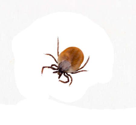 白い背景に、平面図上で分離昆虫ダニ