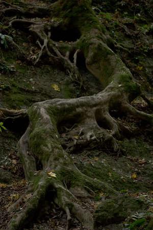 the eerie winding at the rock the root of the tree Banco de Imagens